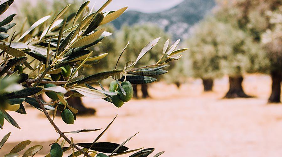 Olijfboom bloempot